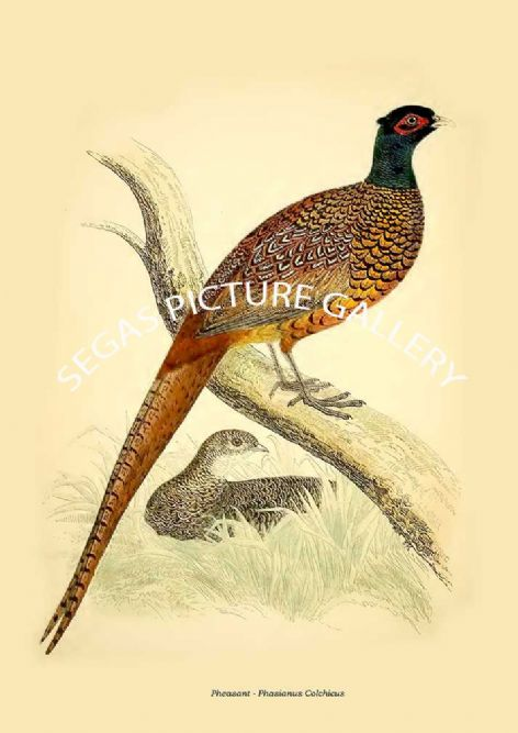 Fine art print of the Pheasant - Phasianus Colchicus by Beverley Robinson Morris (1855)